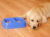 Golden retriever dog in front of his bowl with pet food. — Stock Photo