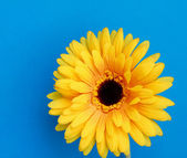 Yellow gerbera, isolated on blue background. — Stok fotoğraf