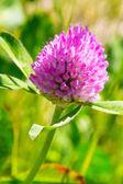 Yonca çiçek — Stok fotoğraf
