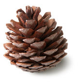 Juniper cone — Stock fotografie