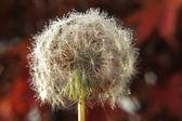 Pollen — Stock fotografie