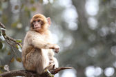 Monkey on branch — Stock Photo