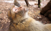 Macaca monkey foreground — Stock Photo