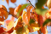 Persimmon leaves in autumn — Stock Photo