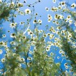 Field with white daisies under sunny sky — Stock Photo #41298113
