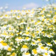Field with white daisies under sunny sky — Stock Photo #41298171