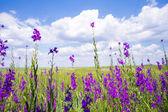 Purple flower field background under sunny sky — Stock Photo