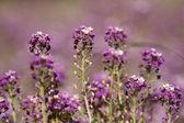 Fundo de campo de flor roxa — Fotografia Stock