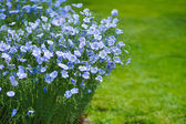 Blue flax flowers — Stock Photo