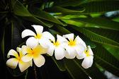 Branch of tropical flowers frangipani (plumeria) — Stock Photo