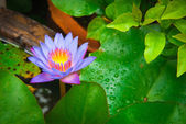 Violet lotus flower in thai garden — Stock Photo