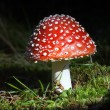 Fly agaric — Stock Photo #41728137