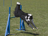 Border collie jumps hurdles — Stock Photo