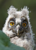 Young long-eared owl — Stock Photo
