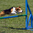 Beagle flying over obstacle — Stock Photo #41929365