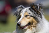 Sheltie portrait — Stock Photo