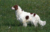 Irish red and white setter male — Stock Photo