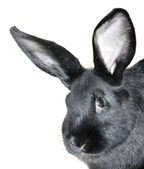 Black rabbit portrait — Stockfoto