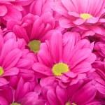 Beautiful pink chrysanthemum flower with sunbeam — Stock Photo #42732567