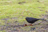 Male blackbird looking for food on grass — Stock Photo