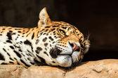 Closeup portrait of jaguar or Panthera onca — Stock Photo
