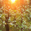 Blooming fruit tree in sunset lights — Stock Photo #46504687