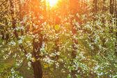 Kvetoucí ovocný strom v západu slunce světla — Stock fotografie