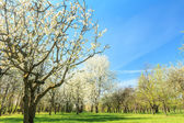 Blossoming fruit tree orchard in spring arboretum — Stock Photo