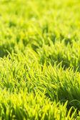 Background of fresh bright green grass — Stock Photo