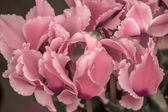 Vintage look of blossoming pink color cyclamen — Stock Photo
