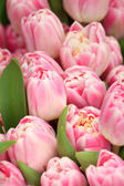 Spring pink tulips floral background — Stock Photo
