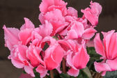 Blossoming cultivated plant pink cyclamen — Stock Photo
