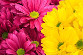 Purple and yellow chrysanthemum floral background — Stock Photo