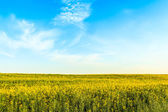 Canola or rapeseed field on blue sky background — Foto Stock