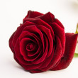 Rote Rose — Stock Photo #41099685