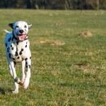 Dalmatiner im Lauf — Stock Photo #43202845