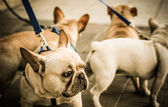 Französische bulldoggen an einer leine geführt — Stockfoto