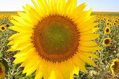 Sunflower field close up — Stock Photo