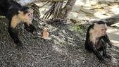 Curious monkeys — Stock Photo