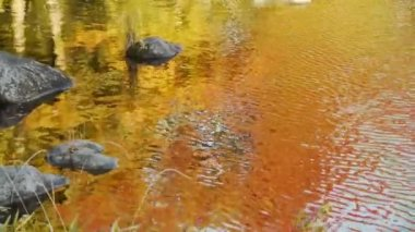 Japanese Maple Reflecting on Pond in Autumn — Stock Video