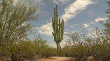 Giant Cactus — Stock Video