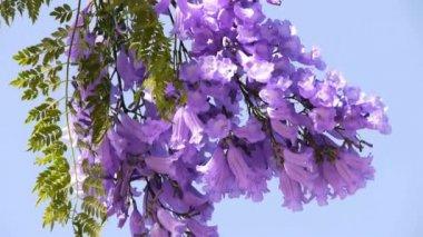 Jacaranda Tree — Stock Video