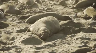 Female elephant seals with pups — Stock Video