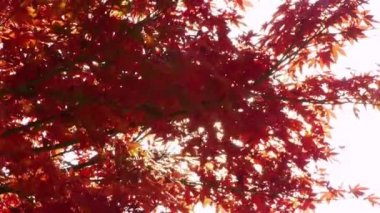 Japanese Maple Trees with Sun Shining Through — Stock Video