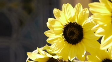Sunflower and Bee — Stock Video