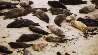 Seals on La Jolla Cove in San Diego — Stock Video