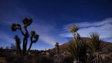 Joshua Tree and Yucca in Moon Light — Stock Video
