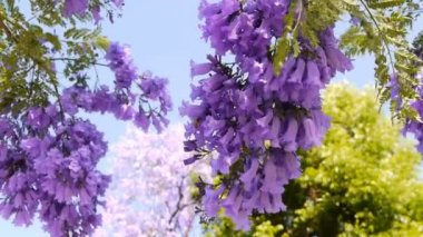 Jacaranda Tree — Stock Video