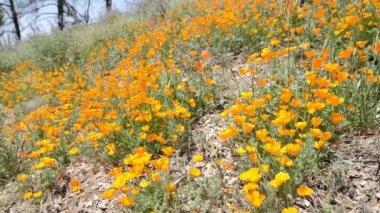 California Wild Flowers — Stock Video