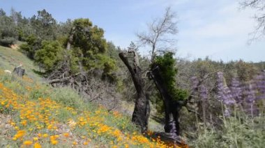 Spring wild flowers in Southern California — Stock Video